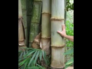 giant timber bamboo plant