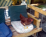 trouble, the pet chicken