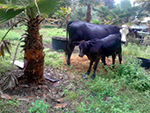 pet cows