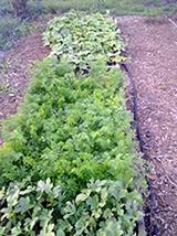 greens growing in garden
