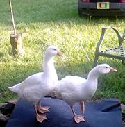 gooser & beeper, per goslings