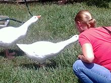 pet goslings