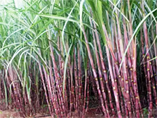 florida red sugarcane field