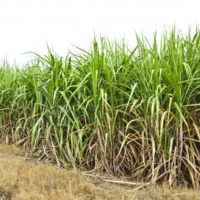 field-of-sugar-cane